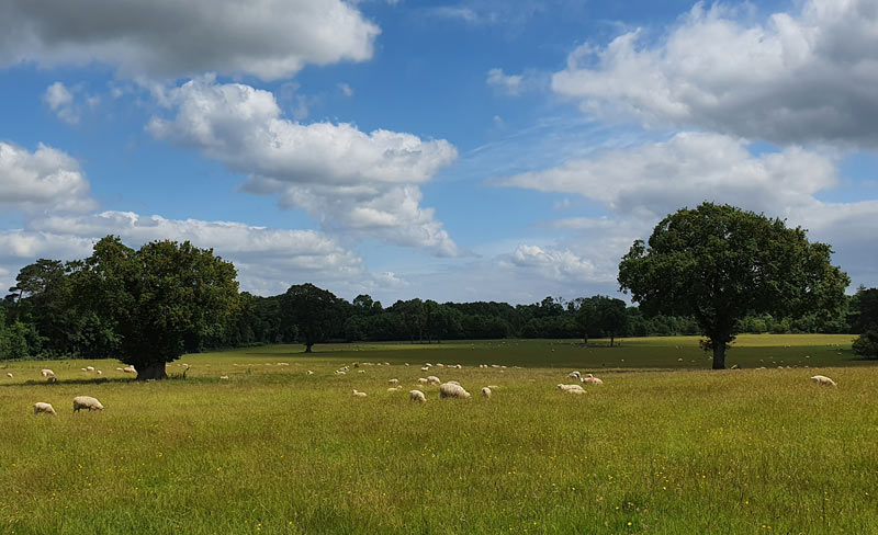Sheep grazing on country parkland near Hinton Charterhouse