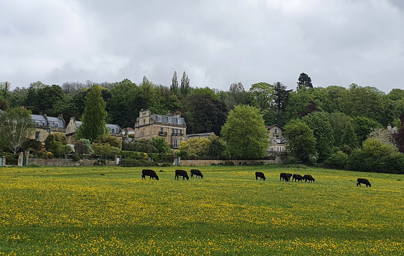 Cows graze on Bathwick Hill